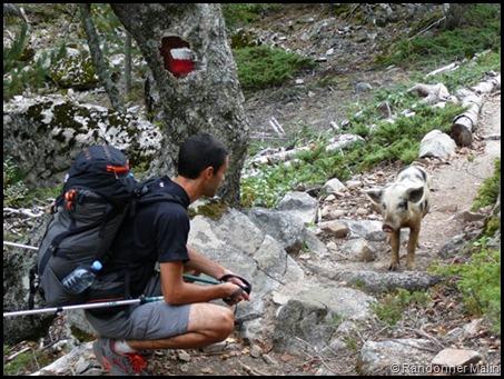 Un petit cochon près du col de Vergio