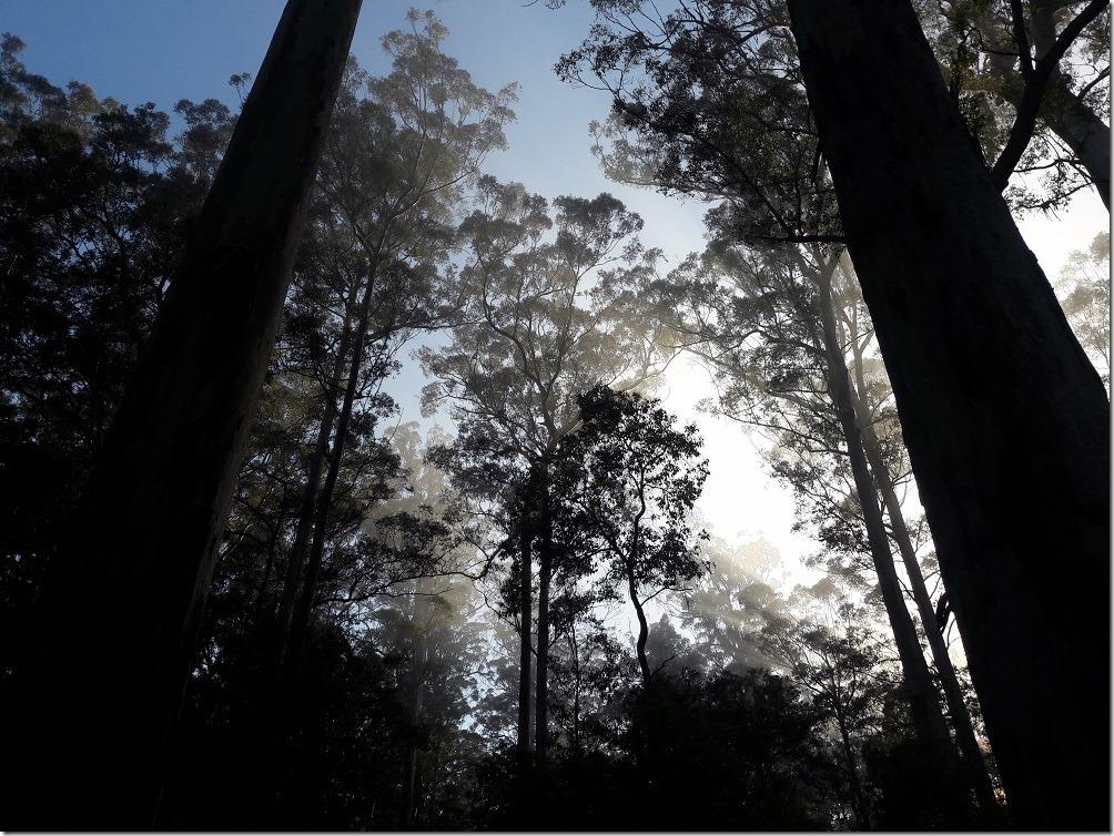 Forêt de Karri au crépuscule