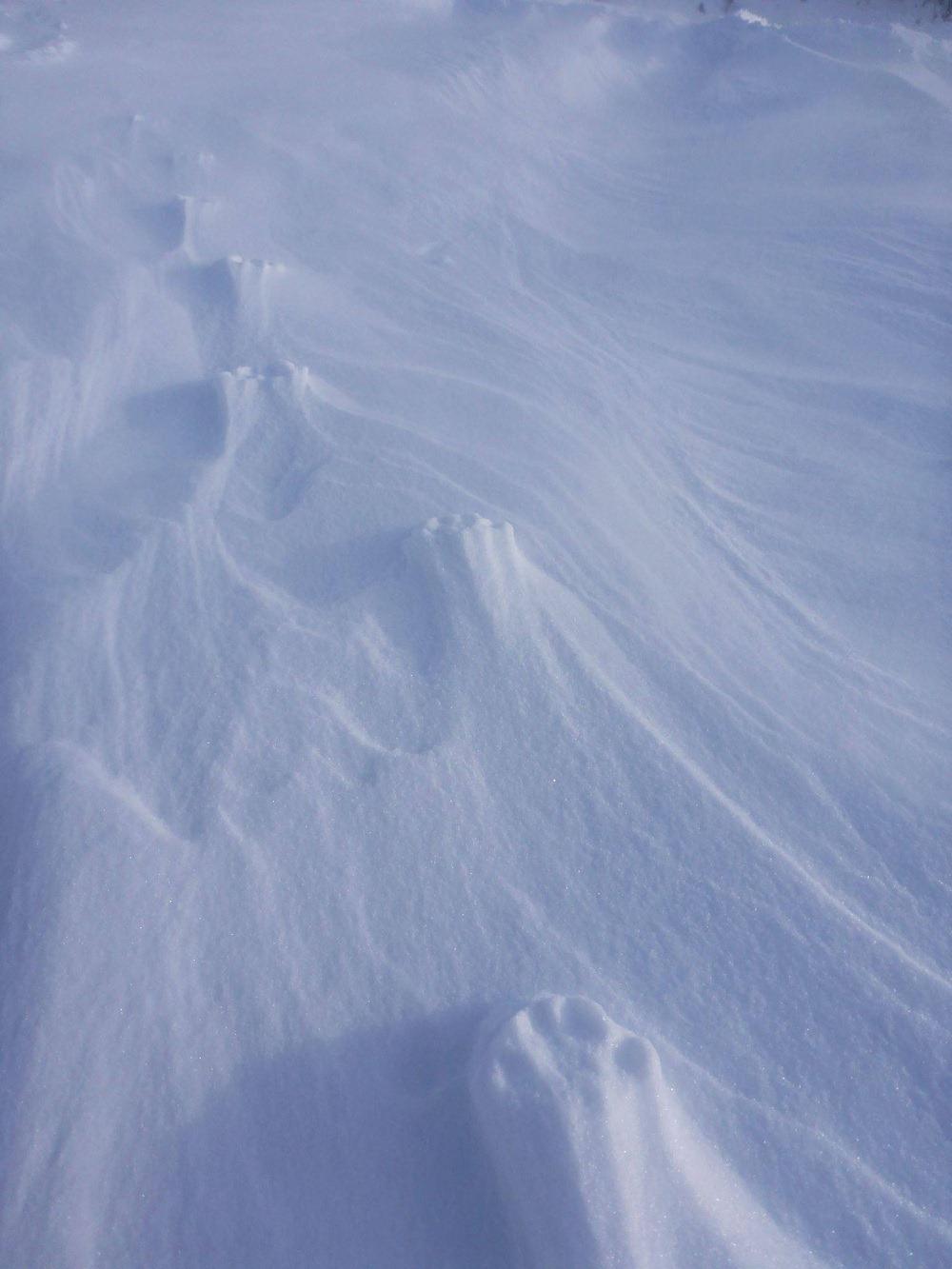 Les loups sont invisibles pour les yeux mais peuplent tout le Nord